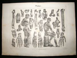 Anatomy Print: 1835 Myology, Folio.